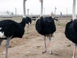 Ostrich farm Photos