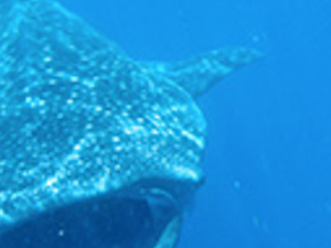 Snorkelling with the Whale Shark Photos