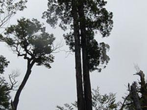 "Trekking  The ascient ""Alerces""  & The Alerce Andino National Park -Chile Photos"