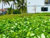 Rice paddy view / abalihouse