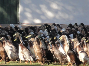5 Days Ducks and Penguins - Cape Town