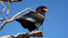 Bateleur Eagle On A Tree.