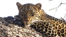 Leopard Lying In The Tree.