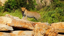 Leopard On A Rock