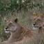 Wildlife Safari Masai Mara,small Group Safaris Kenya,kenya Safaris,kenya Budget Safaris,kenya Camping Safaris,kenya Adventure Safaris,