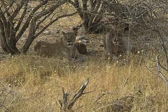 Masai Mara, Lake Nakuru and Amboseli Photos