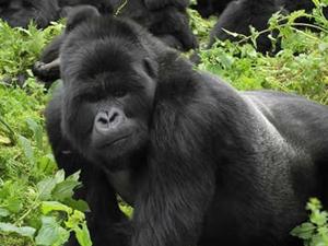 Gorilla Discovery - Uganda & Rwanda