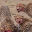 Cheetahs In Game Reserve Feasting After Akill