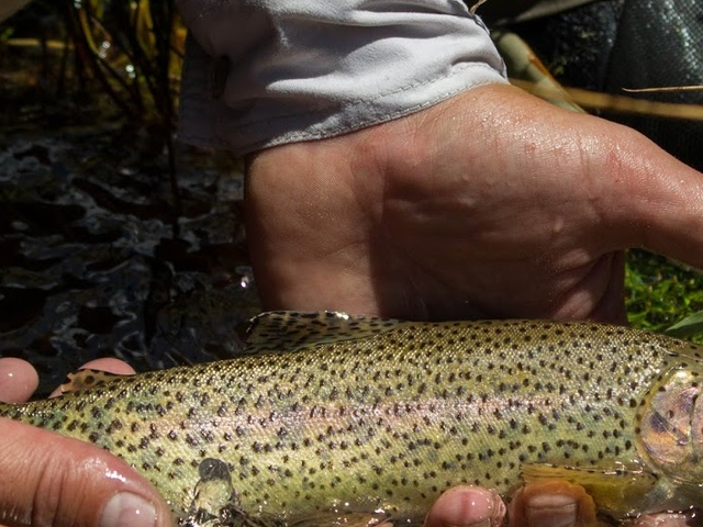 Fishing Rainbown Trout in Tigre Stream, Mendoza Photos