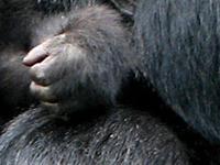 Gorilla Treking Rwanda