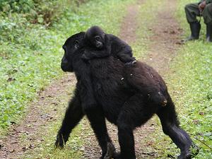 Combined Rwanda - Uganda Adventure Photos