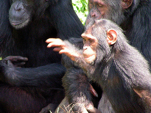 Chimpanzee Tracking in Kibale Forest Photos