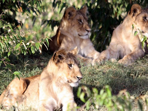 Masai Mara Camping with Wildlife in Action Safaris Photos