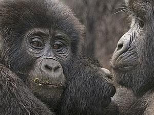 Gorilla tracking, Chimpanzee tracking & Wildlife Combo Fotos