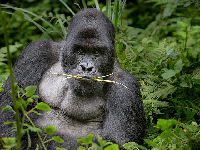 Gorilla Trekking - Rwanda Photos