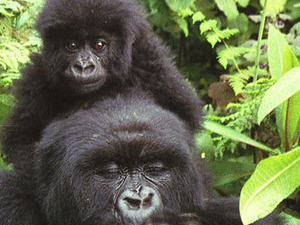 8 Days Rwanda Gorilla Trek, Golden Monkeys, Dian Fossey Tour Photos