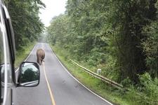 Wild Asian Elephant On The Highways...