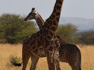 Wildlife Safaris & Zanzibar Beach Holidays