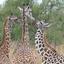 R Young Giraffes