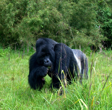 Silverback Mountain Gorilla Safari Photos
