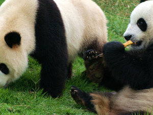 1 Day Chengdu Panda and Leshan Buddha Tour Photos