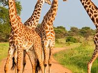 Tanzania Selous Safari Company Giraffes