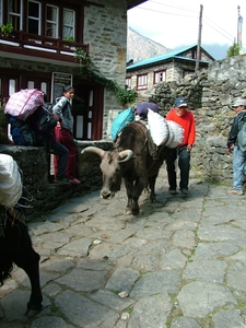 Yaks For Carrying Goods