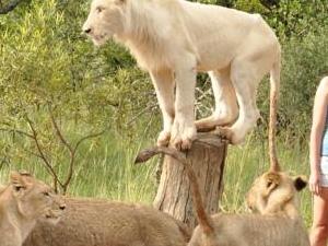 Rustenburg - Sun City to Ukutula Lion Park Day Tour