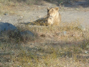 Land of Lions, Gir. Photos