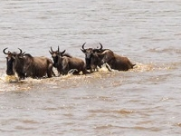 Wildebeest Migration Safari to Masai Mara 2017