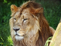 Male Lion 189768 2
