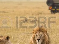19403577 African Lion Couple And Safari Jeep In Kenya