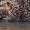 Griff Creek Beaver