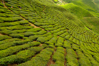 2-Day Cameron Highlands Adventure from Kuala Lumpur Photos