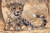 Cheetah Breeding Project Tour at Hoedspruit Endangered Species Centre Photos