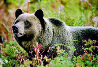 Discover Grizzly Bears from Banff Photos