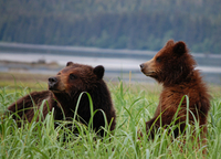 Exclusive Pack Creek Bear Viewing from Juneau Photos