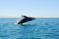 Gray Whale Watching from Seattle Including Whidbey Island Photos