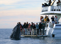 Hervey Bay Whale Watching Cruise Photos