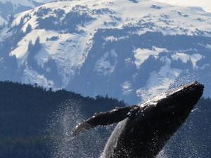 Juneau Shore Excursion: Whale-Watching Adventure with Mendenhall Glacier Tour Photos