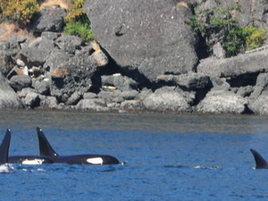 Whale Watching from Friday Harbor Photos