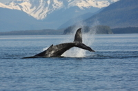 Juneau Whale-Watching Adventure Photos