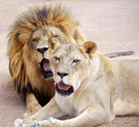 Lion Habitat Ranch: General Admission, Private Tour or Lion Tamer For a Day Photos