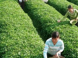Experience Chengdu: Private Tea-Making Tour of Mengdingshan Tea Plantation Photos