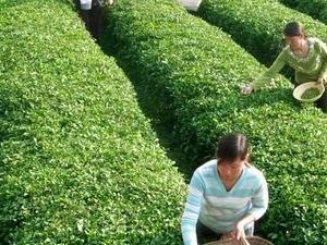 Experience Chengdu: Private Tea-Making Tour of Mengdingshan Tea Plantation Photos