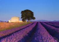 Provence Lavender Fields Tour from Aix-en-Provence Photos