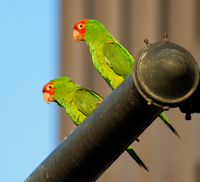 San Francisco's Wild Parrots of Telegraph Hill Walking Tour Photos