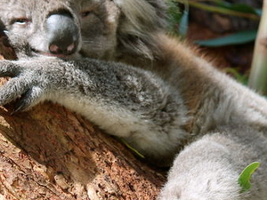 Phillip Island: Penguins, Koalas and Kangaroos Day Tour from Melbourne Photos