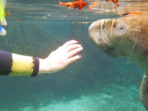 Self-Drive Swim with Manatees on the Crystal River  Photos